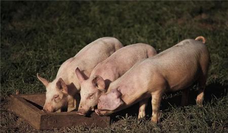 养猪常见猪疾病预防和治疗有哪些?