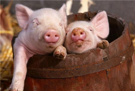 提防猪的这几种行为,那是它生病的信号,你读懂了吗?