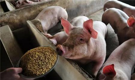 猪最适合的生活条件是什么样的,养猪人应该怎么做