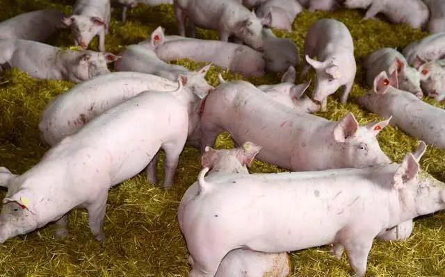 """屠企再度压价,猪价上涨""""路漫漫""""?猪价还有的涨?"""