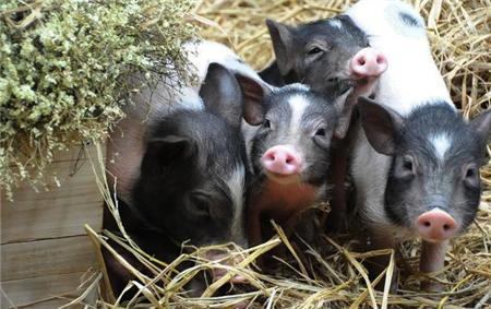 建议收藏:浅谈几种猪病的治疗与预防方案