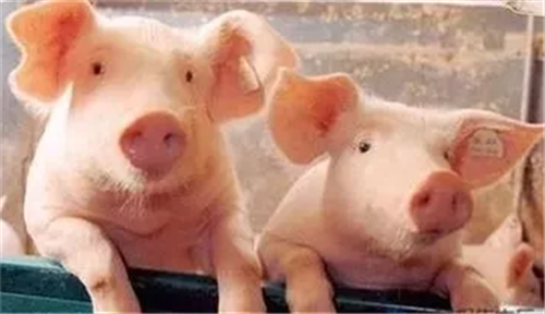 猪病治疗中最易遇到的7大问题分析,你知道几种?