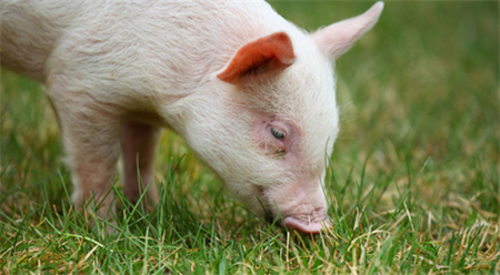 猪价跌破14元,河北山东河南等地90kg以下小猪出栏占比严重