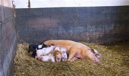 秋冬季如何预防新购仔猪不生病?
