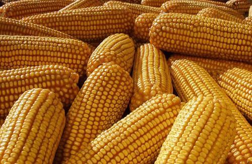 中储粮高价收粮,玉米价格还要涨?4个因素说明玉米市场风险聚集