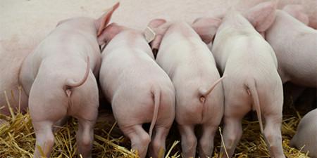"""生猪期货行情呈现上涨态势,为何期货现货""""两幅面孔"""""""
