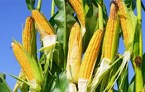 玉米进口近六百万吨但看涨预期不变!