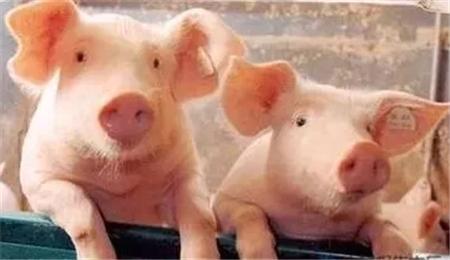 血液原虫对猪各阶段的影响及防控措施