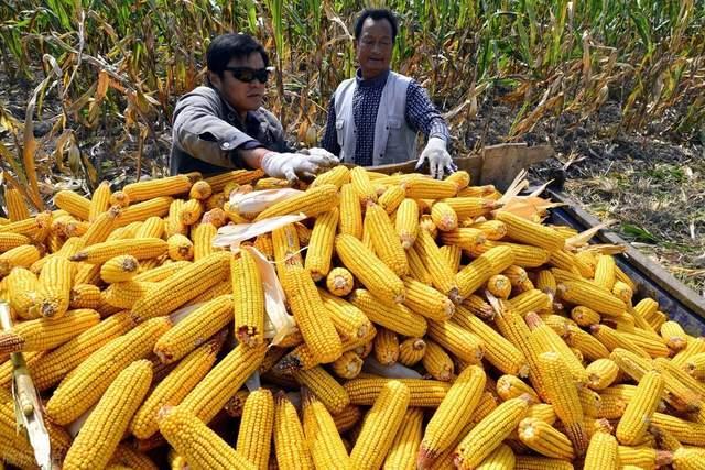 玉米持续一年多的火爆行情,是不是涨到头了?