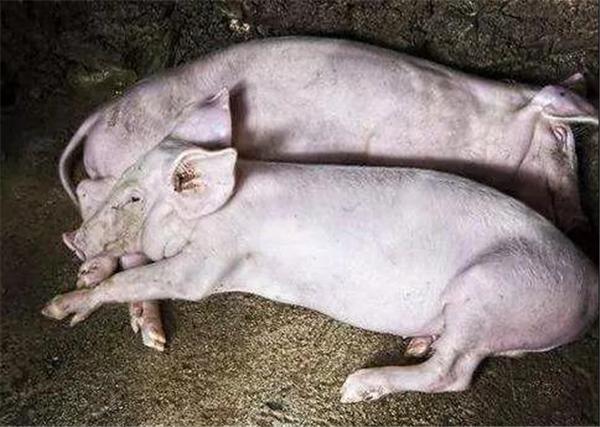 治疗猪圆环病,如此下药事半功倍!用什么药和疫苗方式?