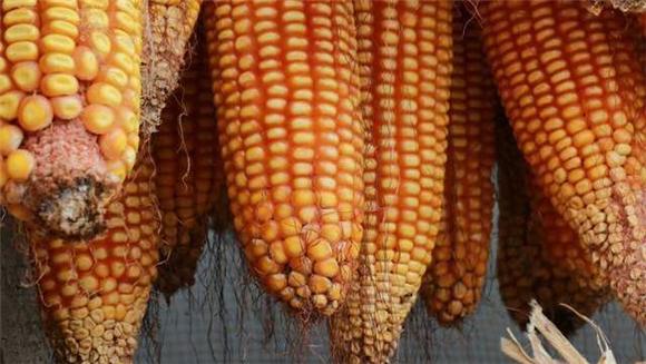 玉米、猪价最新调整:双双进入两极分化状态,都在憋大招?