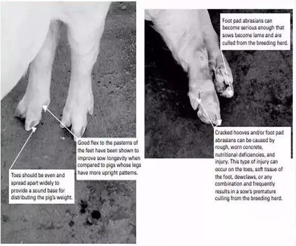蹄部和腿部的完整、运动问题、脚趾问题是母猪使用年限较短的主要原因!