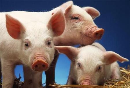白酒在母猪中的妙用,效果杠杠的堪比神药