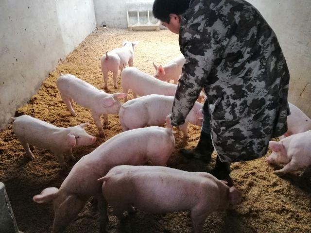 养猪户的大事:未来猪肉市场供应是松是紧?农业农村部回应