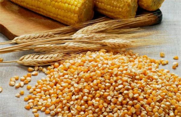 东北深加工玉米价格跌势不止 中储粮粮库高价却收不到粮