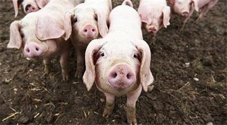 猪产后败血症并发附红细胞体病综合诊治方案分享
