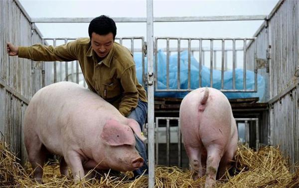 区伟波:集约化养猪的疾病管理思路