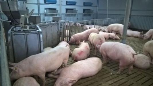 母猪咬死仔猪不在少数,养猪户如何避免呢?