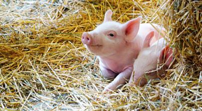 转季时节小猪倒地的原因及防治措施