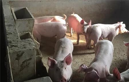 让母猪白天产仔 提高仔猪成活率