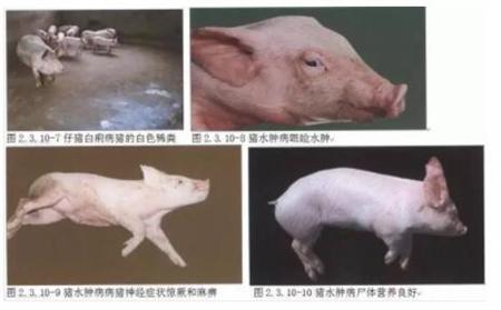 竟然还有这种猪病,长的越大反而死的越快?
