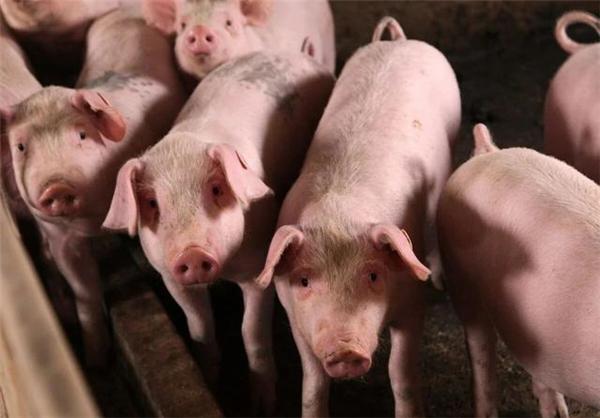 猪价下跌,猪市博弈对象发生转移,集团和散户,这波你站谁?