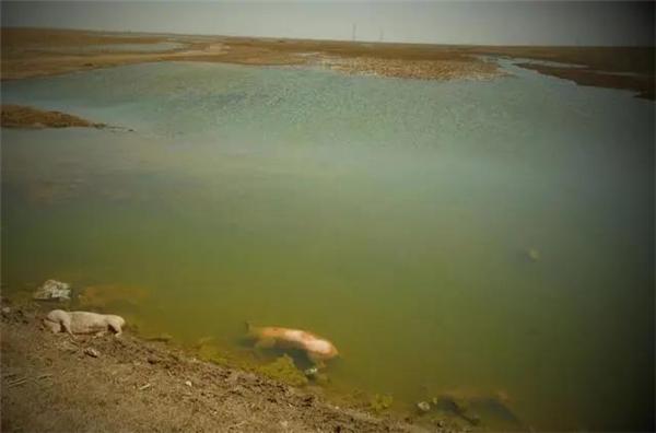 黄河大堤出现大量死猪,当地正溯源