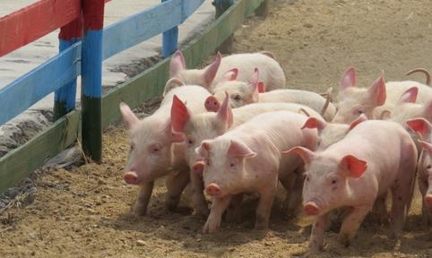 猪农不妨学习一下,中药治疗常见猪病,省钱更省心