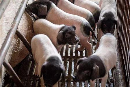 春季如何饲养保育猪?