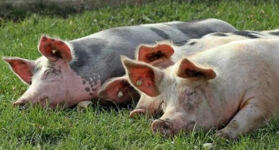 猪高热病不要怕,做到这几点帮你降低损失!
