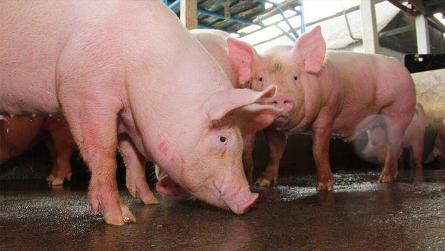 自动化猪场建设与设备 自动化猪场设备的工艺流程 猪场规划设计