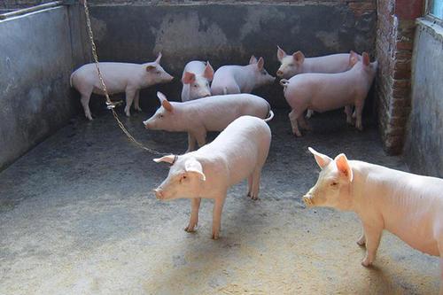 猪链球菌病防治,不管是脑炎型还是关节炎型,方法都在这!
