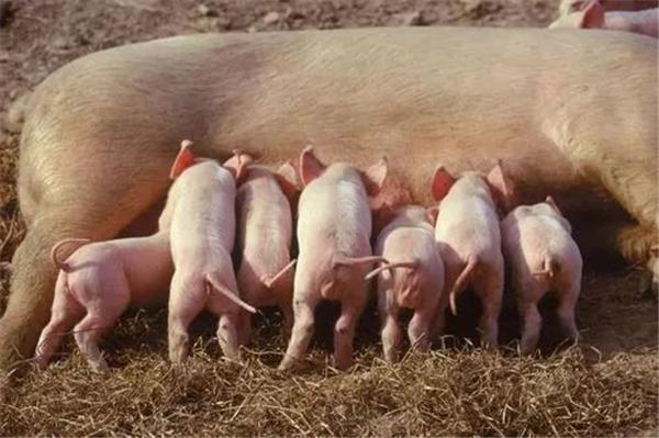 养猪新形势下如何破局?母猪配种是关键!