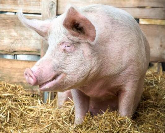 赤脚兽医治疗猪病的方法,养殖户上网一查真是醉了!