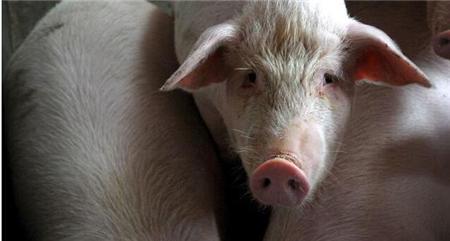 猪吃料呕吐的原因分析,这些你都要知道!
