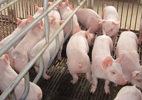 母猪发出求救的信号,一般的养殖户却忽视了?