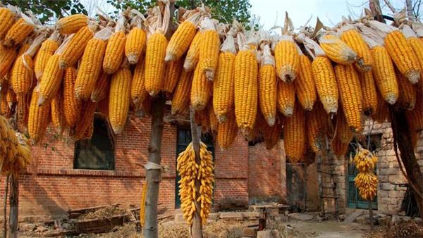 涨价潮!玉米上量偏紧,市场猪源不足,2日猪价、玉米横盘走强!