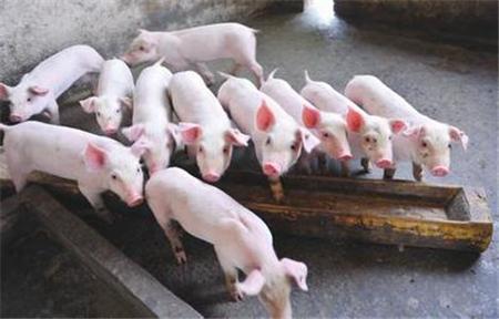 磺胺药治猪病却导致其中毒,错出在哪儿?