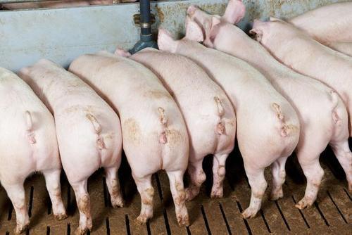 雨季来临,严防洪水肆虐造成猪场损失!