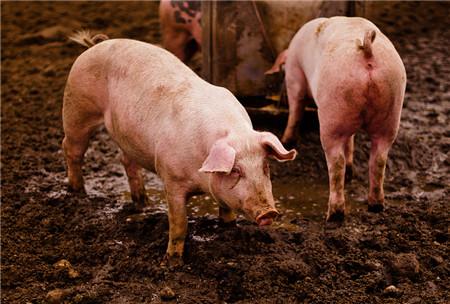 """与猪脑炎、急性中毒病症相似?中兽医教你准确诊断和治疗""""黑汗风"""""""