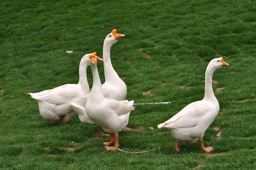 日粮小麦对生长鹅代谢激素指标的影响