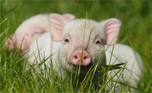 众人皆不知母猪发情规律,养母猪必备