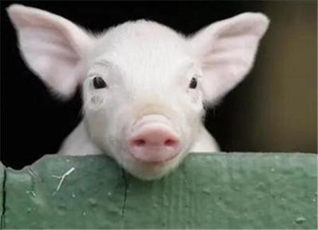 仔猪成活率低,往往是因为你忘了最关键的几步?