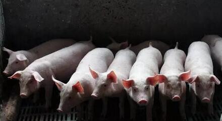 母猪分娩做好这3个细节,母猪无炎症,仔猪好养?