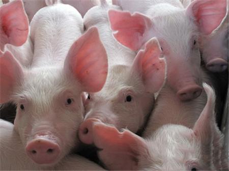养猪过程中, 救命的首选药物!