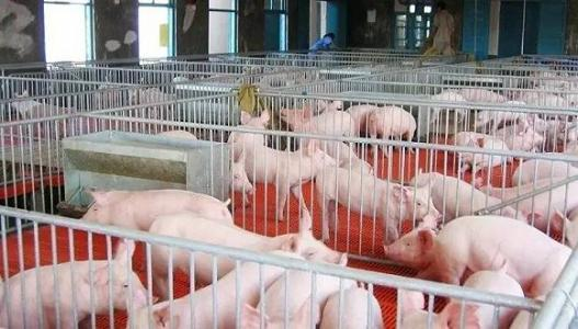 夏季养猪猪场必防的六大猪病!