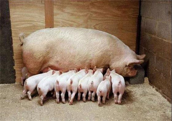 内毒素对规模化猪场仔猪腹泻的危害