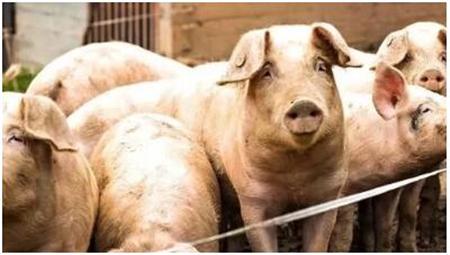 猪缺锌性皮炎常与坏死性皮炎混淆 应该怎么治?