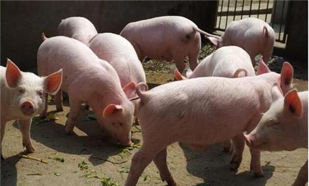 育肥猪在选择杂交组合应注意的几个方面