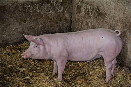 品种公猪性欲不旺的对策